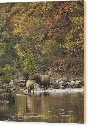 Bull And Cow Elk In Buffalo River Crossing Wood Print by Michael Dougherty