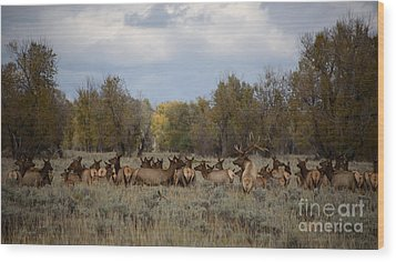 Bull Elk And Harem Wood Print