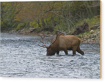 Bull Elk Crossing The River Wood Print