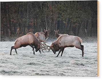 Wood Print featuring the photograph Bull Elk Fighting In Boxley Valley by Michael Dougherty