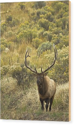 Wood Print featuring the photograph Bull Elk by Roger Mullenhour