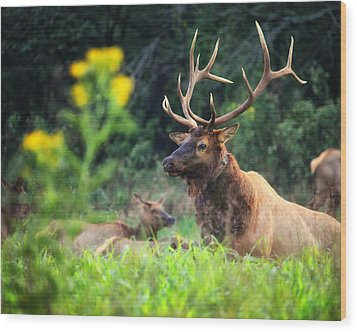 Wood Print featuring the photograph Bull Elk Rutting In Boxley Valley by Michael Dougherty
