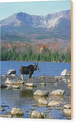 Bull Moose Below Mount Katahdin Wood Print by John Burk