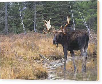 Bull Moose In Stream Wood Print by Natural Selection Bill Byrne