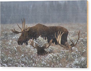 Wood Print featuring the photograph Bull Moose In The Snowy Meadow by Adam Jewell