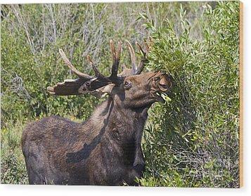 Bull Moose Wood Print by Teresa Zieba