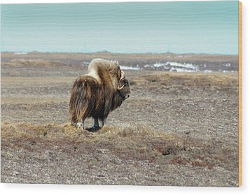 Bull Musk Ox Wood Print by Anthony Jones