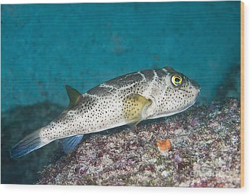 Bullseye Puffer - Galapagos Wood Print by Dave Fleetham - Printscapes