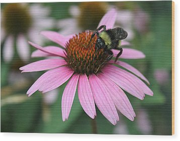 Bumble Bee On Pink Cone Flower Wood Print by Sheila Brown