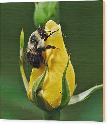 Bumble Bee On Rose  Wood Print by Michael Peychich