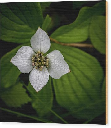 Wood Print featuring the photograph Bunchberry Dogwood On Gloomy Day by Darcy Michaelchuk