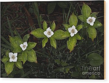 Bunchberry Flowers Wood Print