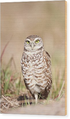 Burrowing Owl Wood Print by Brian Magnier