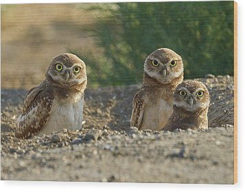 Burrowing Owls Wood Print by Doug Herr