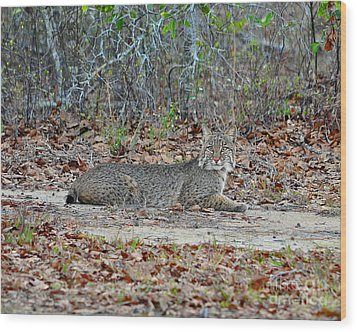 Wood Print featuring the photograph Bushed Bobcat by Al Powell Photography USA