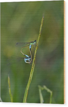 Busy Damsels Wood Print by Kathy Gibbons