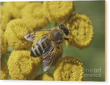 Busy Honey Bee Wood Print by John  Mitchell