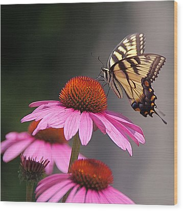 Butterfly And Coneflower Wood Print