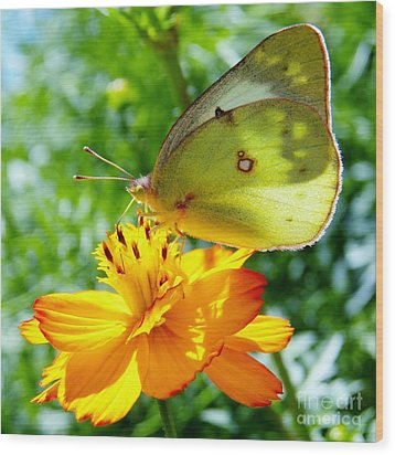 Butterfly And Yellow Cosmo Flower Wood Print