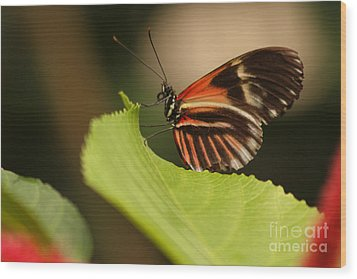 Wood Print featuring the photograph Butterfly Curling Edge Of Leaf by Max Allen