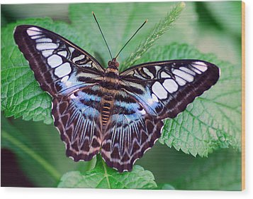 Butterfly Wood Print by Don  Wright