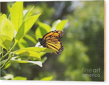 Wood Print featuring the photograph Butterfly In Sunlight by Carol  Bradley
