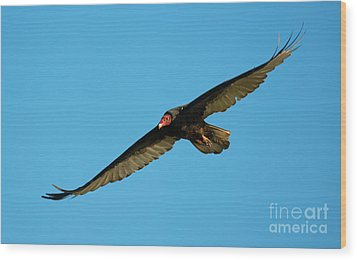 Buzzard Circling Wood Print by Mike Dawson
