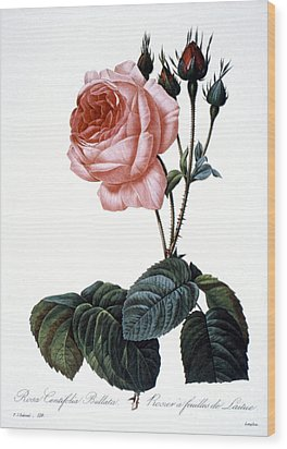 Cabbage Rose Wood Print by Granger