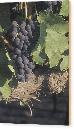 Cabernet Grapes On The Vine In Santa Wood Print by Rich Reid