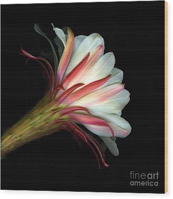 Cactus Flower Wood Print by Christian Slanec