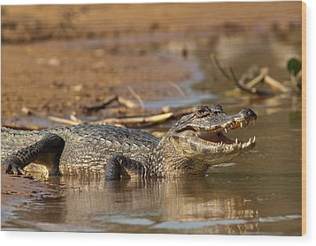 Caiman With Open Mouth Wood Print