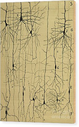Cajal Drawing Of Microscopic Structure Of The Brain 1904 Wood Print