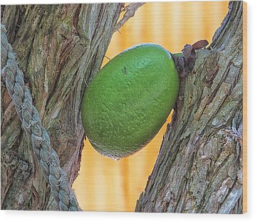 Wood Print featuring the photograph Calabash Fruit by Bill Barber