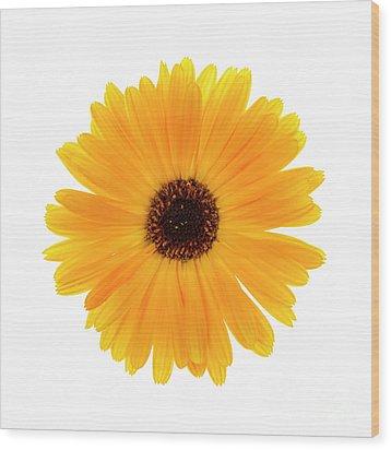 Wood Print featuring the photograph Calendula Flower by Elena Elisseeva