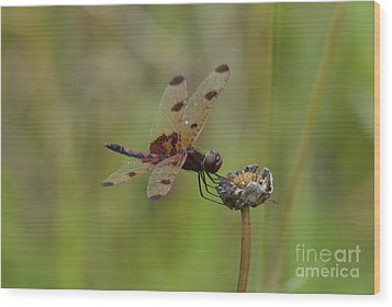 Wood Print featuring the photograph Calico Pennant by Randy Bodkins