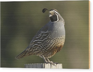 California Quail Male Santa Cruz Wood Print by Sebastian Kennerknecht