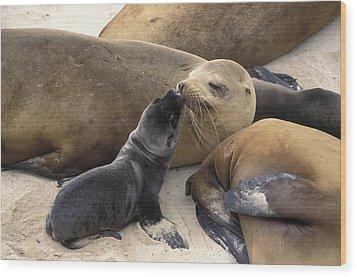 California Sea Lion And Newborn Pup San Wood Print by Suzi Eszterhas
