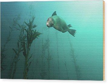 California Sea Lion In Kelp Wood Print by Steven Trainoff Ph.D.