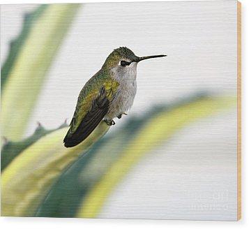 Calliope Hummingbird On Agave Wood Print