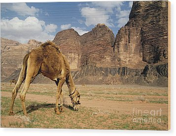 Camel Grazing In A Desert Landscape Wood Print by Sami Sarkis