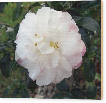 Wood Print featuring the photograph Camellia by Frederic Kohli