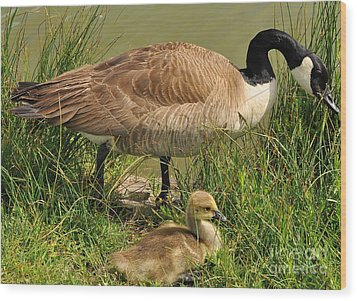 Canada Geese Parent And Child  Wood Print by Merrimon Crawford