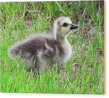 Canada Goose Gosling Wood Print