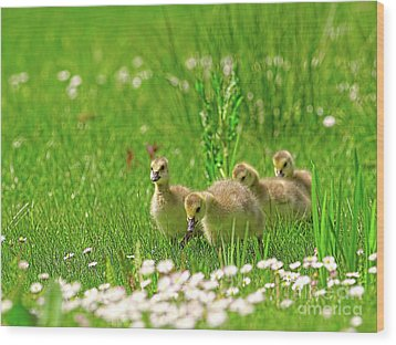 Wood Print featuring the photograph Canada Goose Goslings In A Field Of Daisies by Sharon Talson
