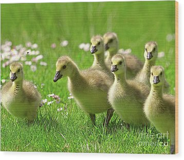 Wood Print featuring the photograph Canada Goose Goslings by Sharon Talson