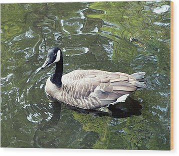Canada Goose Pose Wood Print by Al Powell Photography USA