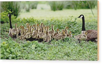 Wood Print featuring the photograph Canada Gosling Daycare by Rona Black