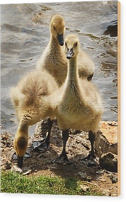 Wood Print featuring the photograph Canada Goslings by Kathleen Stephens
