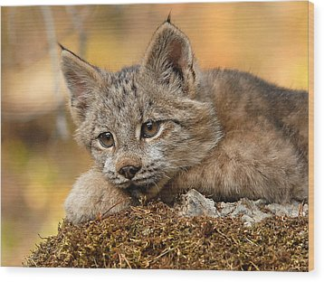 Canada Lynx Kitten 3 Wood Print