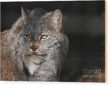 Canadian Lynx  20130107_57 Wood Print